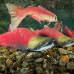 красный лосось под водой