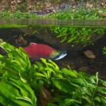 красница под водой