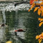 нерка прыгает в реке