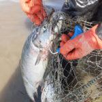 рыба нерка в сети