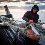 вылов красного лосося сетями
