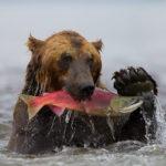 медведь поймал красного лосося