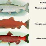 отличия нерки от других рыб