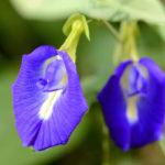 голубые цветы Клитории