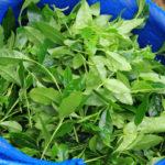 урожай листьев зеленого чая