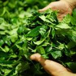охапка собранных свежих листьев зеленого чая
