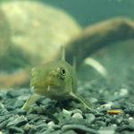 рыба гарра руфа в аквариуме