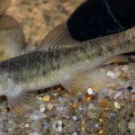 рыба гарра руфа, внешний вид