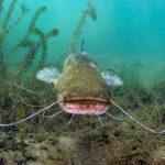 усатый сом под водой