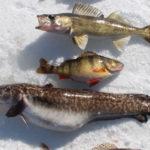 отличия налима от других рыб