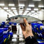 самая полезная морская рыба, скумбрия