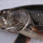 самая полезная речная рыба, боганидский голец