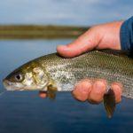 Полезная рыба сиг