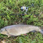 полезная рыба белый амур