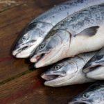 свежевыловленный лосось