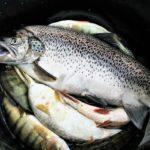 улов рыбы в ведре