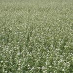 поле гречихи