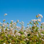 поле цветущей гречихи