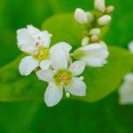цветы гречихи