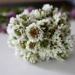 белый клевер, цветы