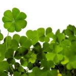 листья клевера, удача