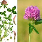 Луговой клевер (Trifolium pratense)