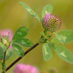 розовый луговой клевер