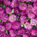 свежий клевер, цветы
