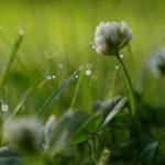 белые цветы клевера