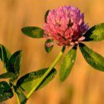розовый луговой клевер, цветок