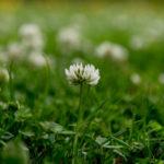 белый цветок клевера