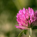розовый цветок клевера