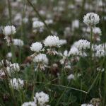 лужайка белого клевера