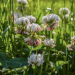 клевер трава, цветы