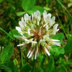белый клевер цветет