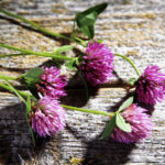 сорванные цветки клевера