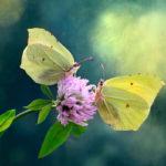 бабочки на цветке клевера