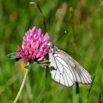 бабочка и клевер