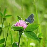 мотылек на цветке клевере