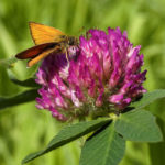 мотылек на цветке клевера