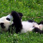 панда на поле с клевером