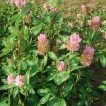 луговой розовый клевер