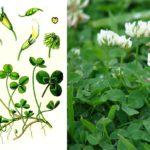 Ползучий клевер (Trifolium repens)