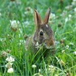 кролик в клевере