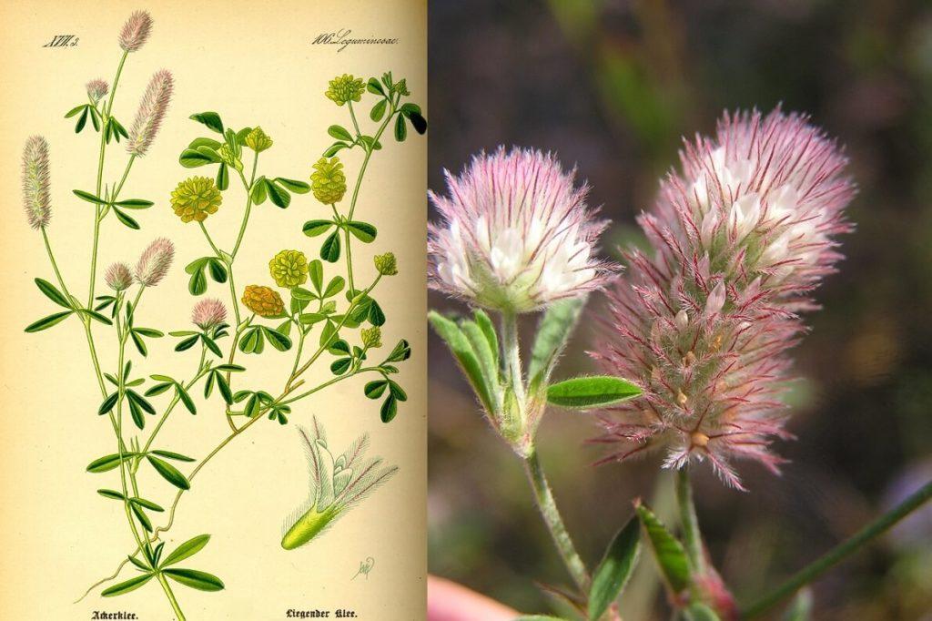 Пашенный клевер (Trifolium arvense)