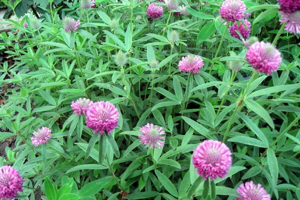 Альпийский клевер (Trifolium alpestre)
