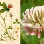 Гибридный клевер (Trifolium hybridum)
