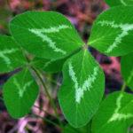 листья клевера, трилистник