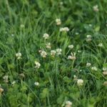 трава клевера