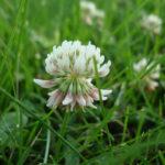 цветок, белый клевер